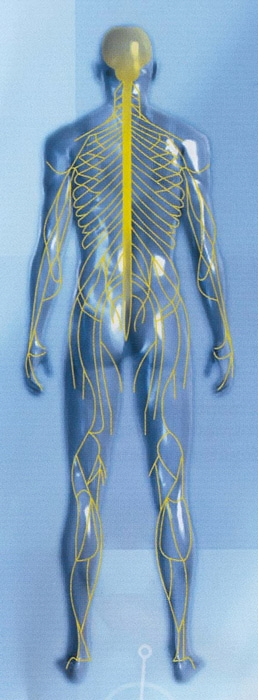 Chaîne neuro-vasculaire
